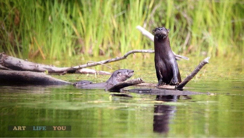 The otter family of Moffat Lake