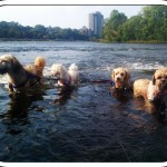 In order to preempt a call to the SPCA from the 4-legged members of the family due to the heat, we tested the mighty Rideau River. A bit of nerves, a bit of excitement, a bit of running and the dogs had fun too.