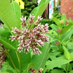 Aromatic! (in a good way) ~ milkweed before I knew it was monarch food
