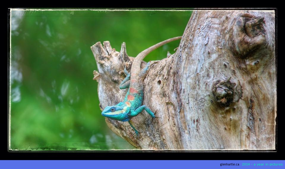 Pretty lizard  ~ no matter where you're walking (it seems anyways) – if you stop walking and look around, something is watching you…