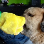 Charlie and the yellow rose ~ everyone loves roses!