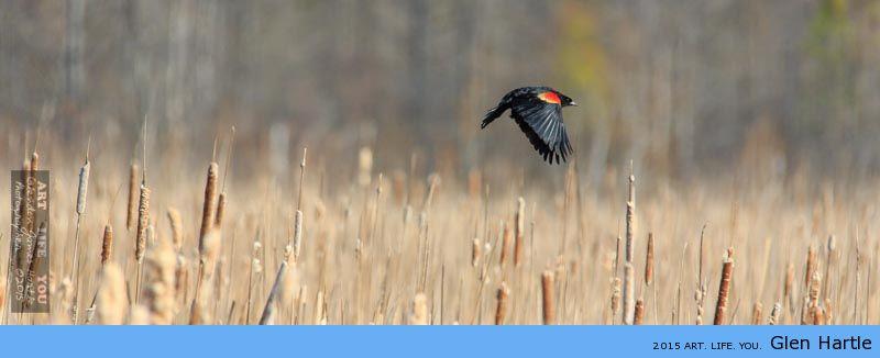 Black Bird At Mer Bleue
