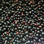 Our first real harvest!! Eight cups of black currants :)