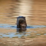 The curious otter and his snack of burbot