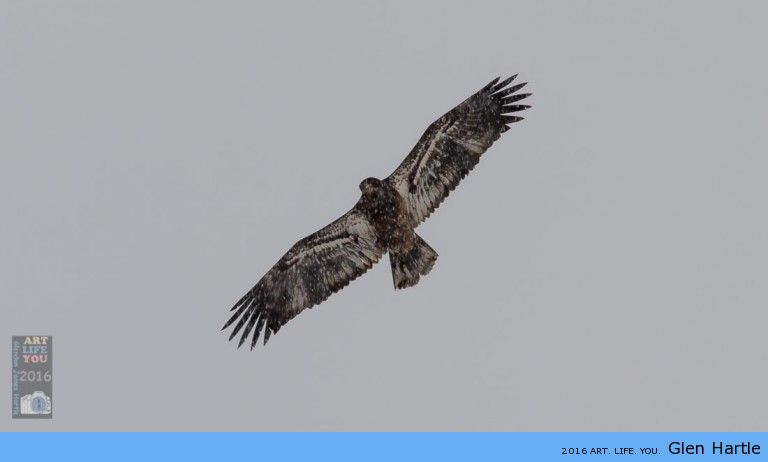 I'm being watched ~ juvenile bald eagle through the falling snow