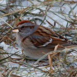 An American Tree Sparrow waiting for spring...