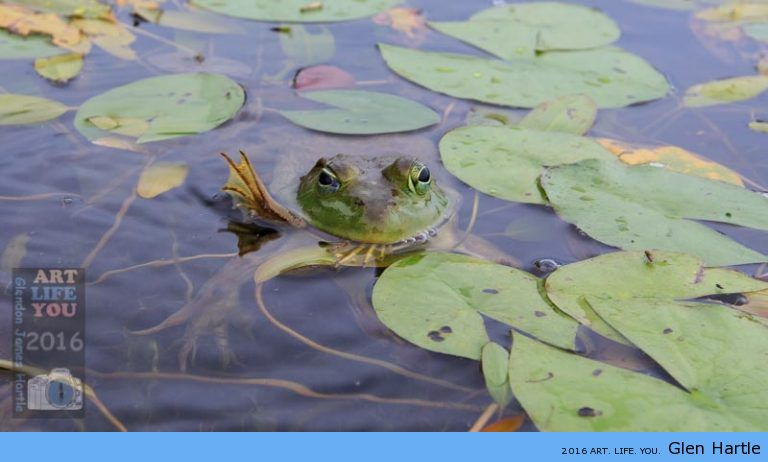 The cannibalistic bullfrog ~ better move fast!