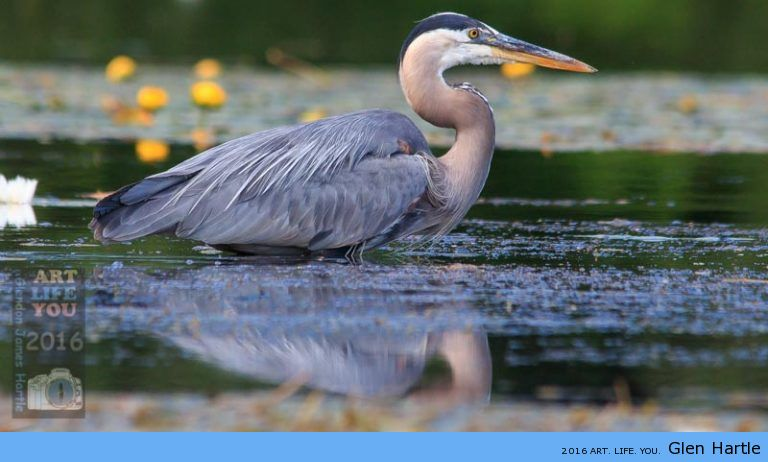To watch a heron hunt is to witness patience and deadliness with an ever-present grace.