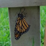 Um ... WOW! Birth of a monarch :) (video)