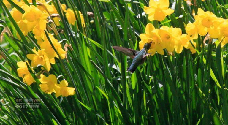 Hummingbird enjoying the daffodils