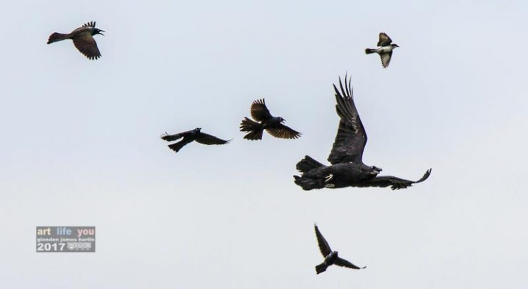 Airborne attack! Grackles and a phoebe attack a raven.