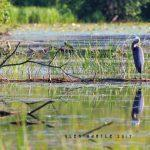 Balancing on the fallen - a heron practicing emotional hygiene.