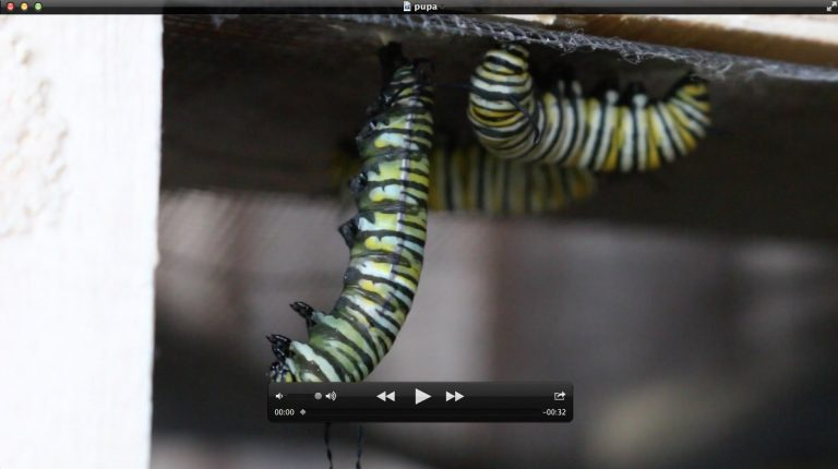 32 SECONDS: Here are the final two and half minutes of the colossal effort it takes to make a chrysalis.
