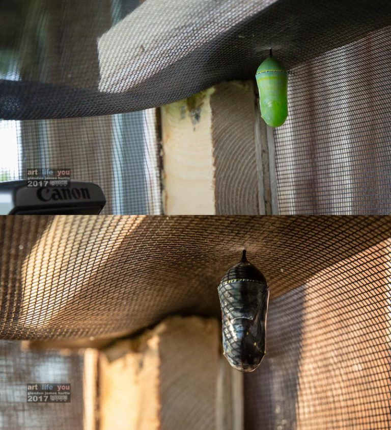 Update on the first chrysalis from July 7th