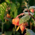 The jewelweed bejeweled by dew.