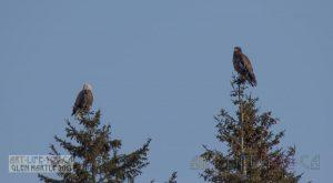 Visit from an adult bald eagle and her/his youngster today :)