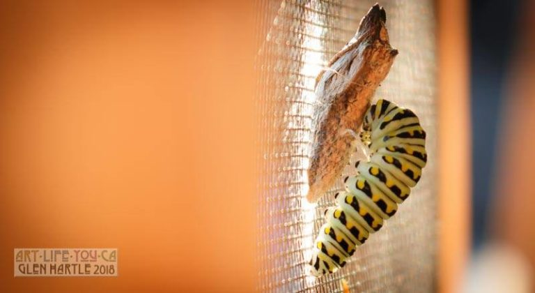 black swallowtail caterpillar finally deciding to take the plunge and pupate