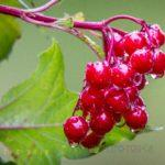It'll soon be high-bush cranberry jelly time ~ dibs?