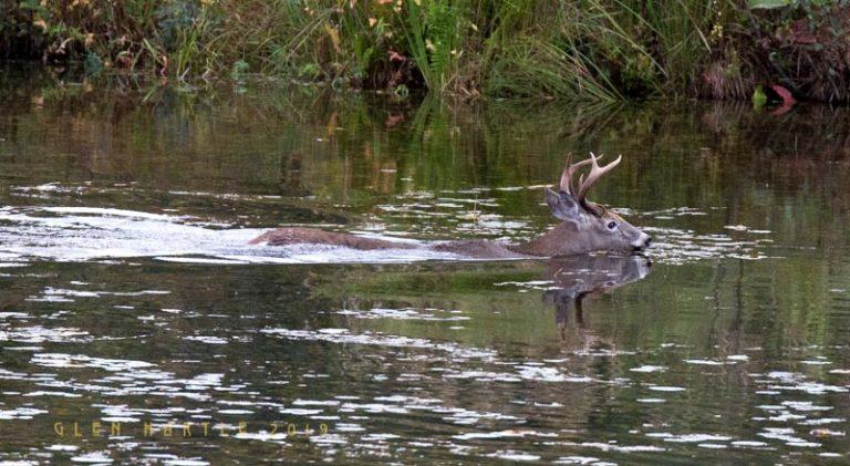 Swimming Buck