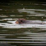 Not sure entirely if this was a territorial or mating beaver dance ... suspect it wasn't romantic ...