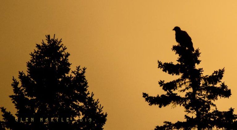 Eagle silhouette against dawn – when less is more …