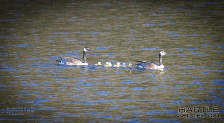 Well this made my day: Covidian Calendar Day 62 and there are baby geese floating around the lake ~ life persists