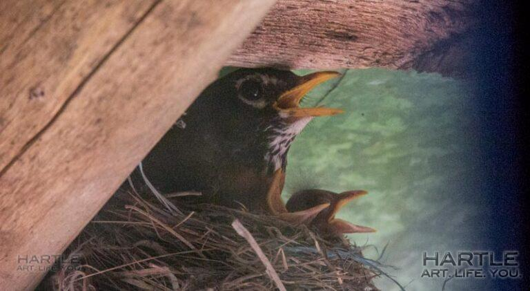 Baby robins and the heat