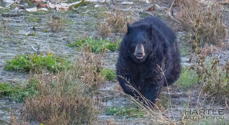 This is what a bear looks like when it's running straight toward you … just so you know …