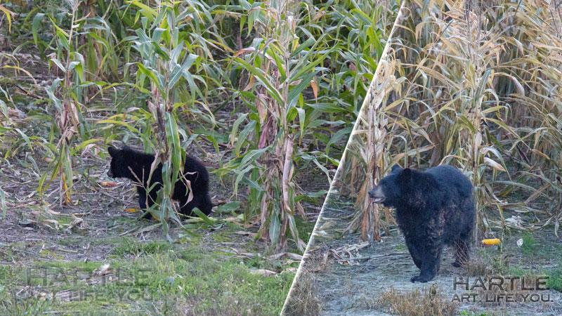 hmmm … he did seem like a big bear … here he is juxtaposed with one of the dancing bear cubs from Friday