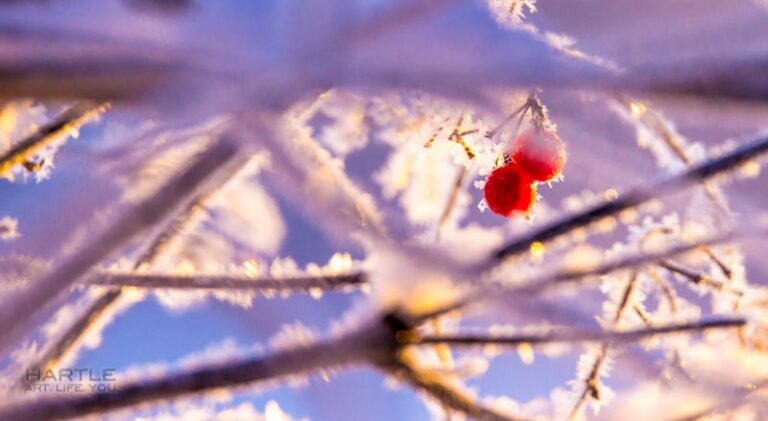 Even the berries look cold today.