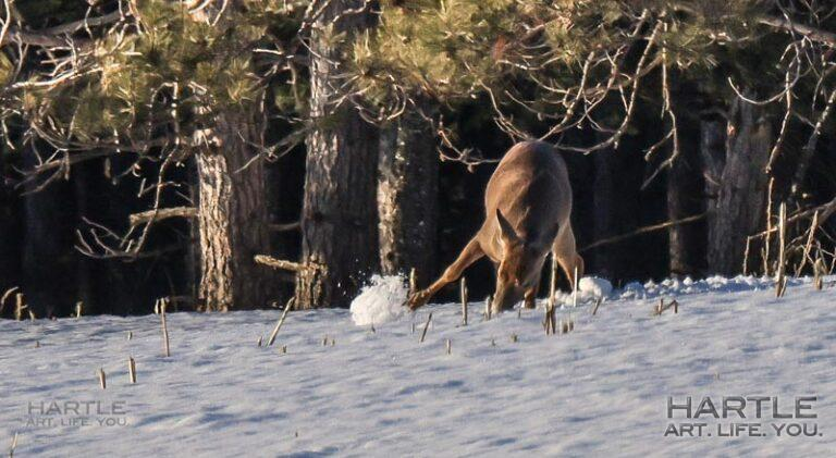 I watched a deer foraging today … and it makes me REALLY appreciate a pantry!!