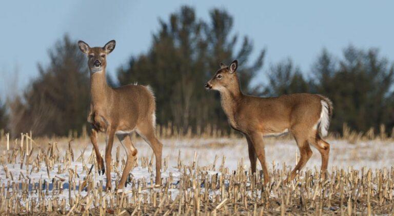 Are you happy, deer?