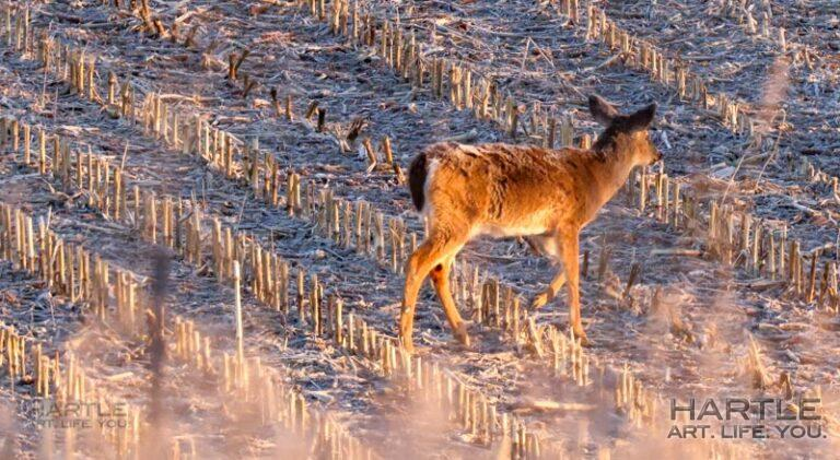 I think it's neat that the frost settles on the deer at night … yet I am thankful for blankets 🙂