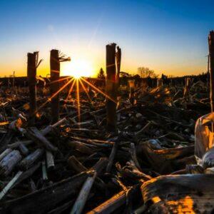 Dawn of the Corn