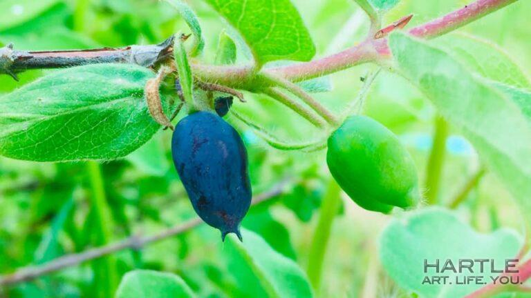 It doesn't seem possible but … there are ripe haskap berries on May 26