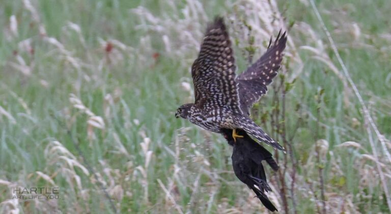 This merlin doesn't seem much bigger than the grackle he's carrying …