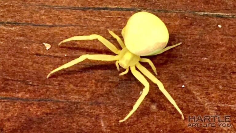 Goldenrod Crab Spider in the kitchen!