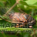 Cicadas look super cool! This one is chilling on a haskap leaf.